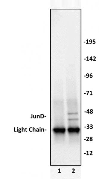 JunD antibody (pAb) tested by immunoprecipitation.