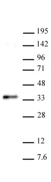 RYBP antibody (pAb) tested by Western blot.