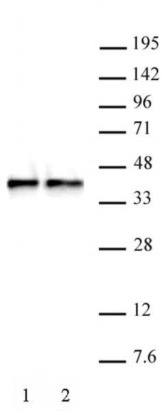 WDR5 antibody (pAb) tested by Western blot.