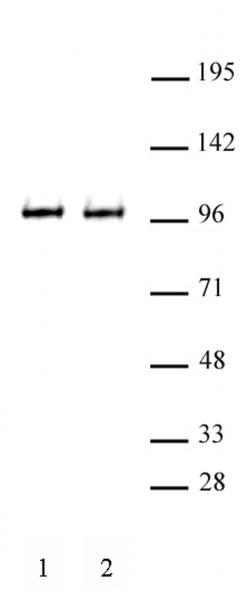 BRD3 antibody (pAb) tested by Western blot.