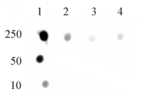 DNMT1 monomethyl Lys142 antibody (pAb) tested by dot blot analysis.
