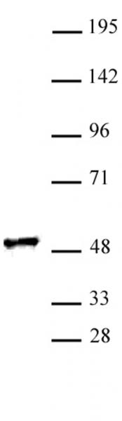 RING1 antibody (pAb) tested by Western blot.