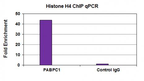 Histone H4 antibody (mAb) tested by ChIP.