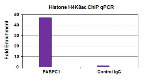 Histone H4K8ac antibody (mAb) tested by ChIP.