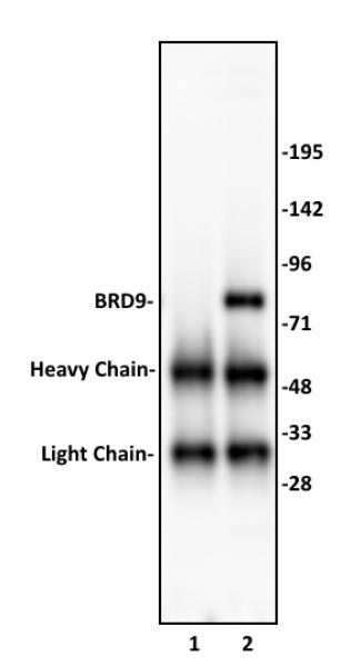 BRD9 antibody (pAb) tested by immunoprecipitation.