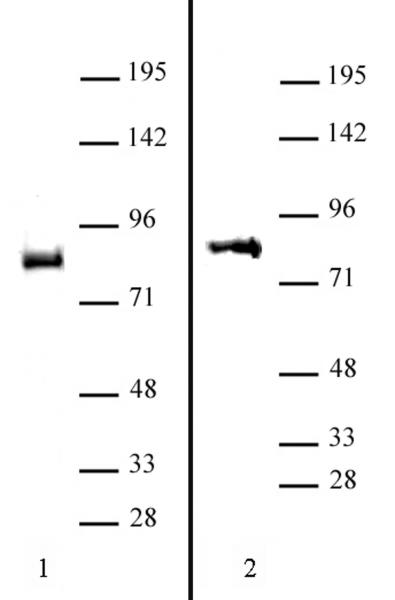 BRD9 antibody (pAb) tested by Western blot.