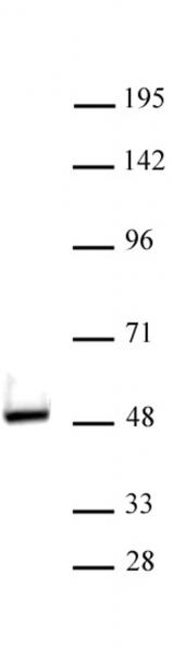 VDR antibody (pAb) tested by Western blot.