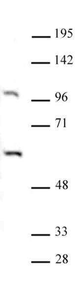 PAF1 antibody (pAb) tested by Western blot.