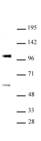 SP3 antibody (pAb) tested by Western blot.