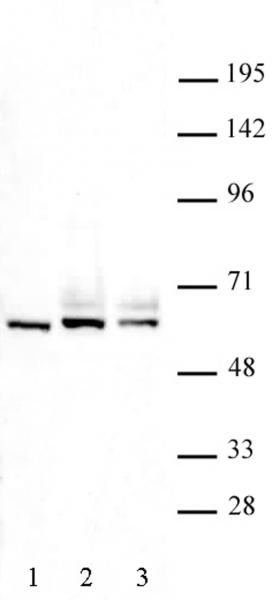 FOXO4 antibody (pAb) tested by Western blot.