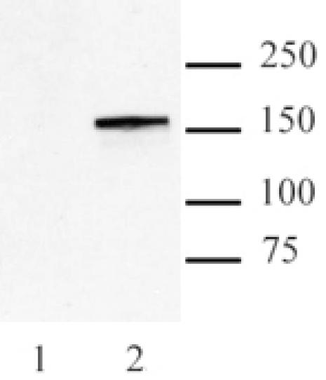 Cas9 antibody (mAb) tested by Western blot.