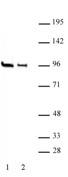 EZH1 antibody (pAb) tested by Western blot.