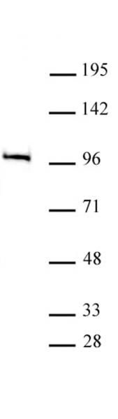 MED15 antibody (pAb) tested by Western blot.