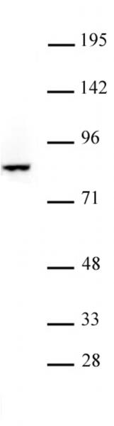 FOXO3 antibody (pAb) tested by Western blot.