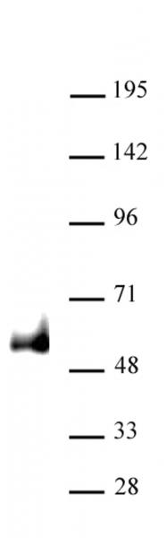 PAX6 antibody (pAb) tested by Western blot.