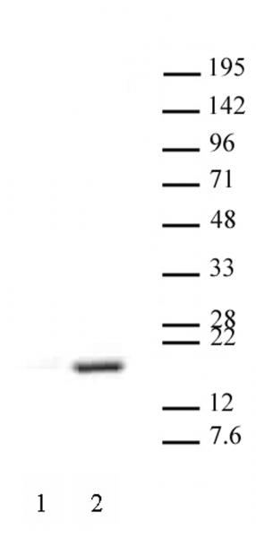 Histone H3R17me2aK18ac antibody (pAb) tested by Western blot.