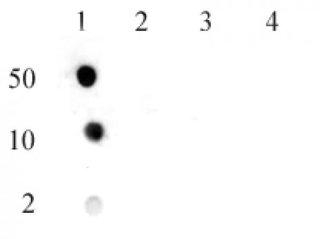 Histone H3R17me2aK18ac antibody (pAb) tested by dot blot analysis.