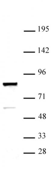 ARID3A antibody (pAb) tested by Western blot.