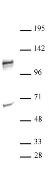 NFATC2 antibody (pAb) tested by Western blot.