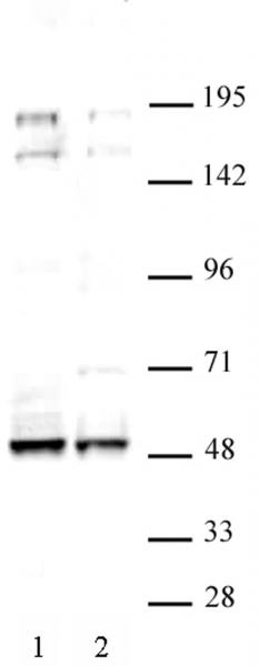 MAF antibody (pAb) tested by Western blot.