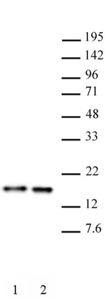 Histone H3 antibody (mAb) tested by Western blot.