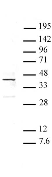 ATF4 antibody (pAb) tested by Western blot.