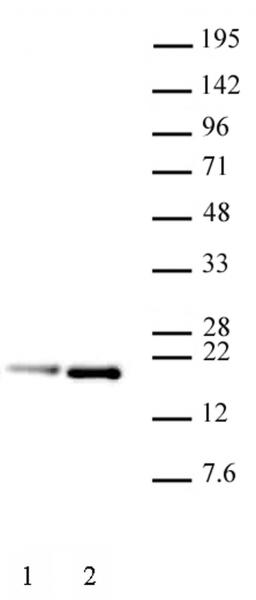 Histone H3.1S28ph antibody (mAb) tested by Western blot.