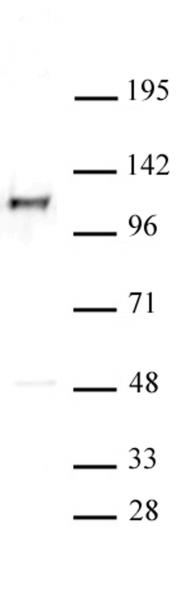 MCM2 antibody (pAb) tested by Western blot.