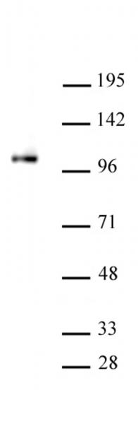 SFMBT1 antibody (pAb) tested by Western blot.