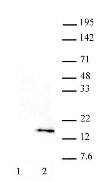 Histone H3T32ph antibody (mAb) tested by Western blot.