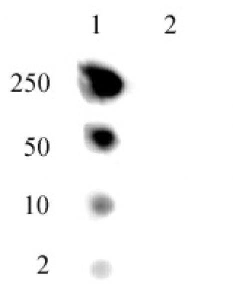 Histone H2A.J antibody (pAb) tested by dot blot analysis.