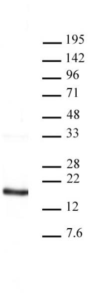 Histone H3 antibody (pAb) tested by Western blot.