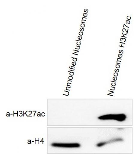 Recombinant Mononucleosomes H3K27ac - biotin  tested by Western blot.