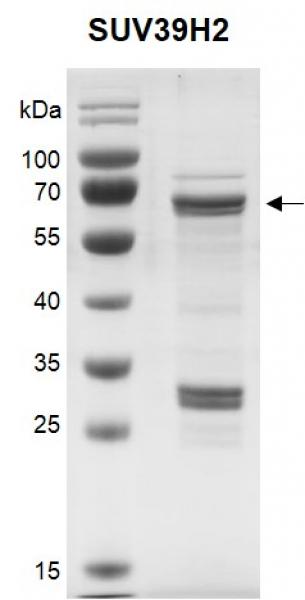 Recombinant SUV39H2 protein.