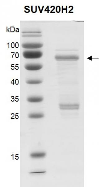 Recombinant SUV420H2 protein.
