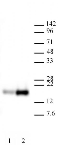 AbFlex<sup>®</sup> Histone H3K9ac antibody (rAb) tested by Western blot.
