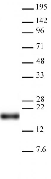 AbFlex<sup>®</sup> Histone H3K9me0 Antibody (rAb) tested by Western blot.