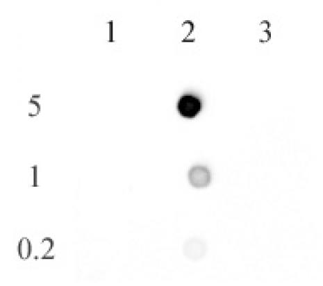 AbFlex<sup>®</sup> 5-methylcytosine antibody (rAb) tested by dot blot analysis.