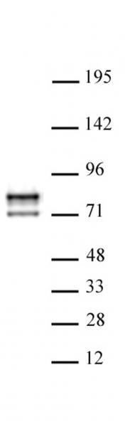AbFlex<sup>®</sup> Lamin A/C antibody (rAb) tested by Western blot.